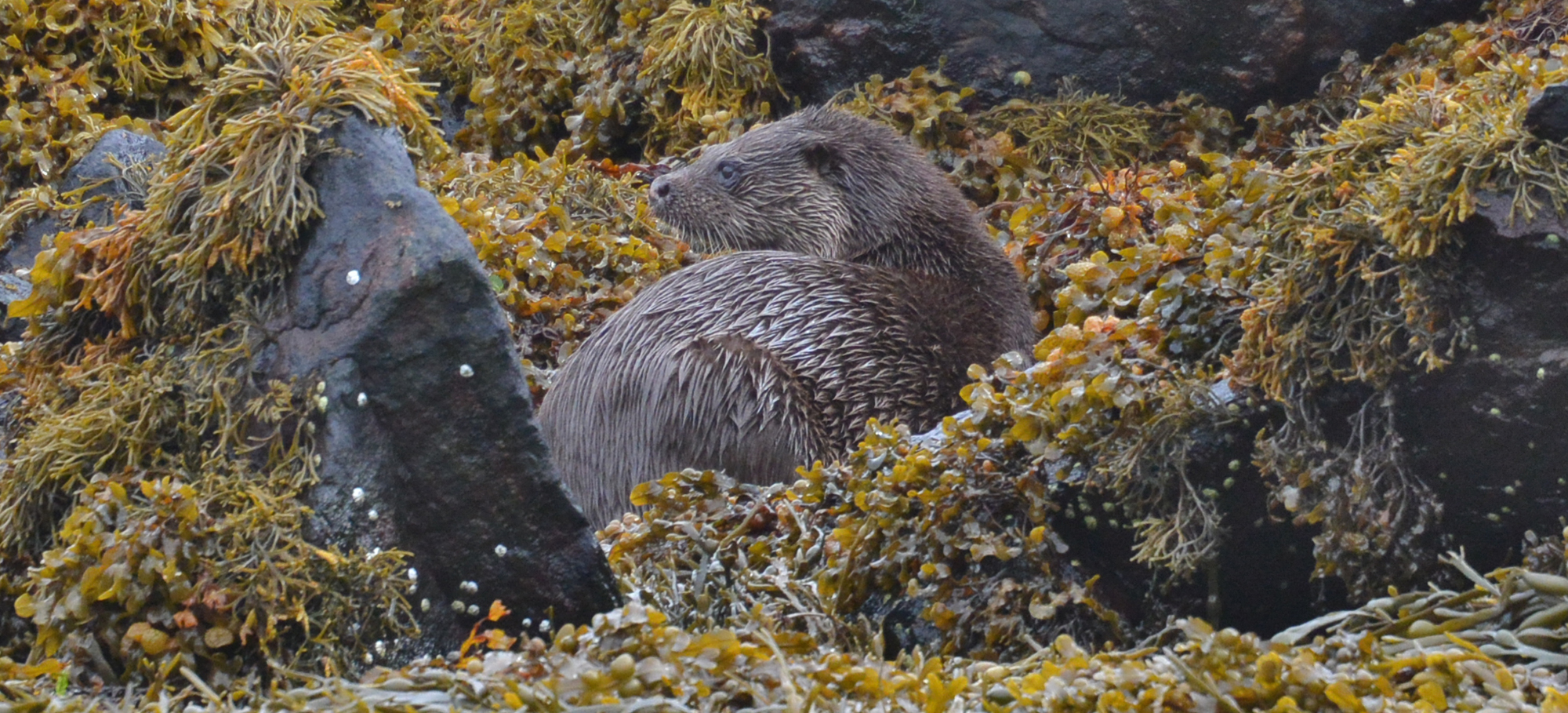 An otter in the weed and rocks